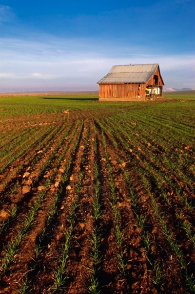 Winter Wheat Leads to Barn by Gary Hamburgh - All Rights Reserved