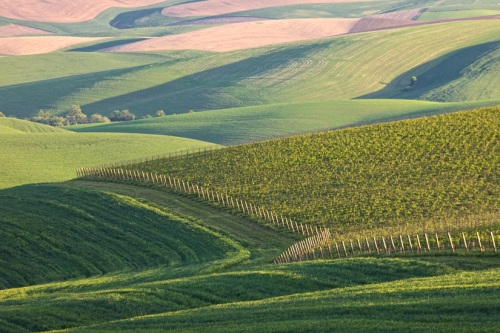 Vineyards Add to the Palouse Patterns by Gary Hamburgh - All Rights Reserved