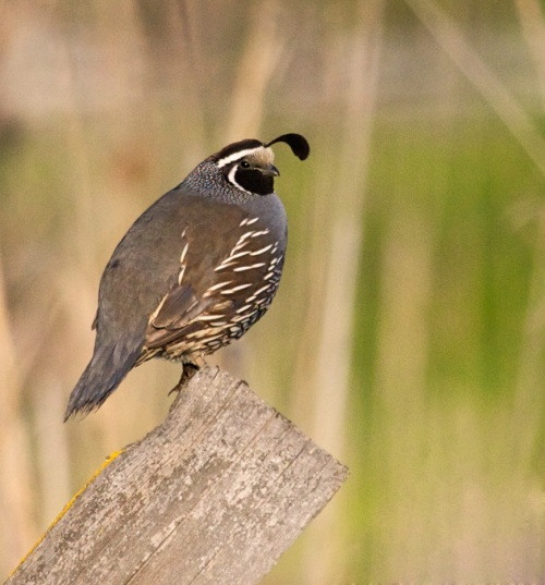 California Quail on Post by Gary Hamburgh - All Rights Reserved