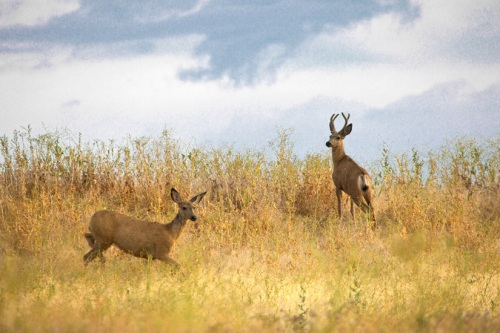 Mule Deer Couple - Copyright Gary Hamburgh 2009 - All Rights Reserved