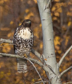 GHamburgh_MG_7474-Red-tailed-hawk-1