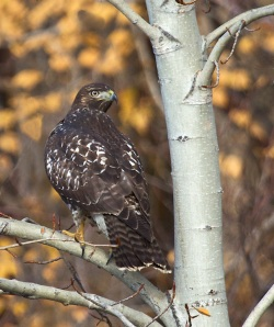 GHamburgh_MG_7485-Red-tailed-hawk-2